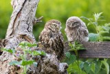 Little-owls