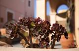 Oia plants