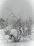 Lapland Tree