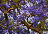 Jacaranda Lei closer (photoart)