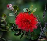 'Ohia Lehua: Bud to Bloom 01