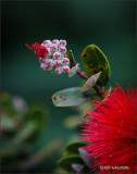 'Ohia Lehua: Bud to Bloom 02