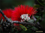 'Ohia Lehua: Blooming Buds