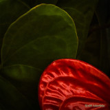 Anthurium Curves