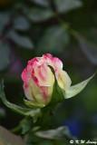 Rose DSC_3352