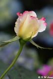 Rose DSC_3348