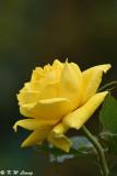 Rose DSC_3310