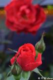 Rose DSC_3480