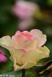 Rose DSC_3667