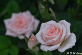 Rose DSC_3515