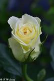 Rose DSC_3455