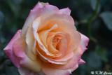 Rose DSC_3452