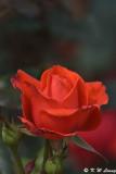 Rose DSC_3296