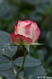 Rose DSC_3688