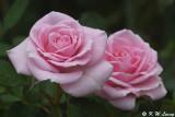 Rose DSC_3829