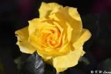 Rose DSC_3913