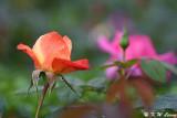 Rose DSC_3726