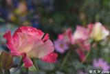 Rose DSC_3347