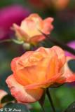 Rose DSC_3731