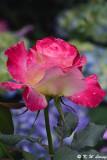 Rose DSC_3342