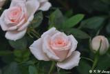 Rose DSC_3520