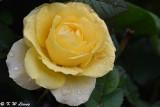 Rose DSC_3630