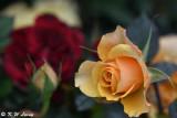 Rose DSC_3405