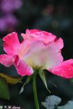 Rose DSC_3356