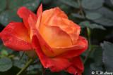 Rose DSC_3677