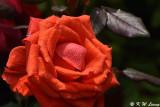 Rose DSC_3285