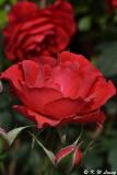 Rose DSC_3291
