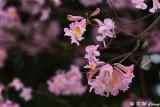 Tabebuia rosea (紅花風鈴木)