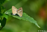 Lampides boeticus (Long-tailed Blue 亮灰蝶)