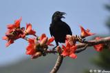 Large-billed Crow DSC_8868