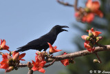 Large-billed Crow DSC_8870