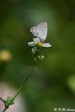Pratapa deva (White Royal  珀灰蝶)