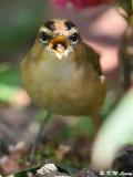 Black-browed Reed Warbler (黑眉葦鶯)