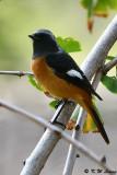 Daurian Redstart (北紅尾鴝)