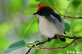 Scarlet-backed Flowerpecker DSC_1763