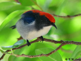 Scarlet-backed Flowerpecker DSC_1585