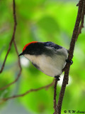 Scarlet-backed Flowerpecker DSC_0702