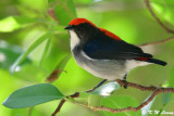 Scarlet-backed Flowerpecker DSC_0982