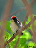 Scarlet-backed Flowerpecker DSC_0752