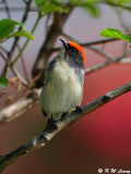 Scarlet-backed Flowerpecker DSC_0800