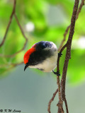 Scarlet-backed Flowerpecker DSC_0712
