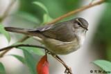 Dusky Warbler (褐柳鶯)