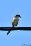 Long-tailed Shrike DSC_2431