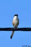 Long-tailed Shrike DSC_2411