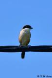 Long-tailed Shrike DSC_2426
