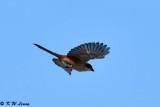 Long-tailed Shrike DSC_2464